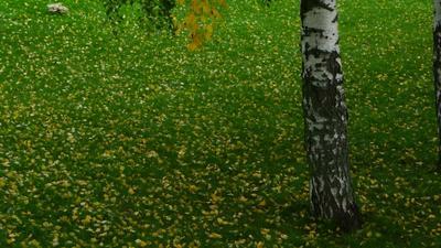 желтые листья на зеленой траве под березой Россия