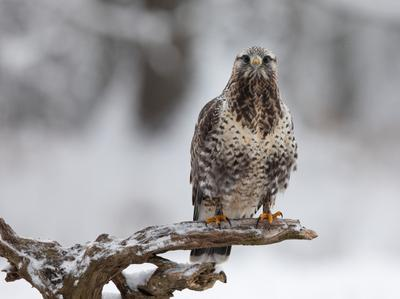 Зимняк канюк птицы хищник зимняк