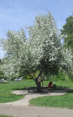 яблони в цвету яблоня