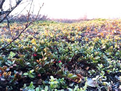 Первые ягоды в тундре тундра солнце север природа закат ягоды весна Новый Уренгой