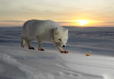 Песец подкрадывается... песец зима снег небо солнце закат Арктика