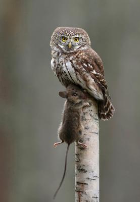 *** Сыч воробьиный Glaucidium passerinum Pygmy Owl Eurasian Sperlingskauz