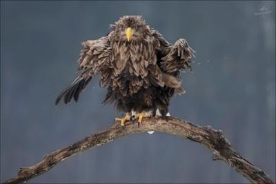 ANGRY BIRD angry bird Беларусь орлан-белохвост white-tailed eagle haliaeetus albicilla