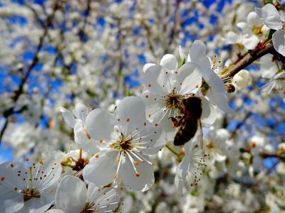 ***вишневый сад вишня сад пчела природа