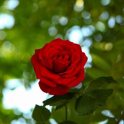 роза 2020 (3)
