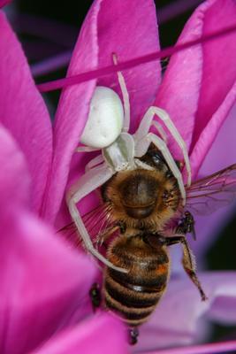 Охотник и Добыча паук макро пчелоед canon 70d лоо насекомые