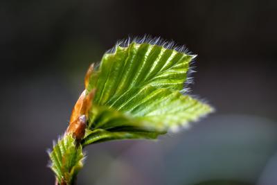 Бук. деревья бук природа