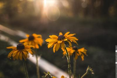 Рудбекия canon макро рудбекия цвет цветы закат свет