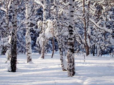 13е января. Снежно... январь зима лес бор березы солнечно снежно природа пейзаж