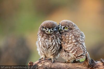 Домовые сычи my-mriya owl