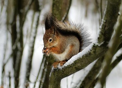 """Белочка-""""панк"""". . . белка зима лес"""