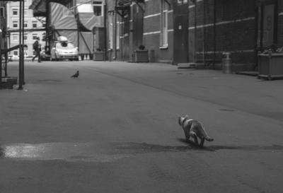 Доброй охоты, Багира кошка кот голубь птица охота москва красный октябрь ЧБ черно-белая монохромная