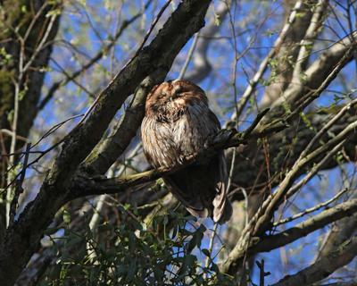 Совушка, сова большая голова Серая неясыть Strix aluco Tawny owl