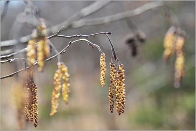 Ольха Весна ольха серая сережки