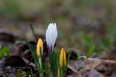Крокусы расцветают цветы крокусы весна природа