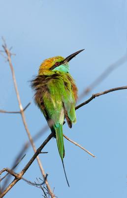 Растрёпа малая зелёная щурка Merops orientalis