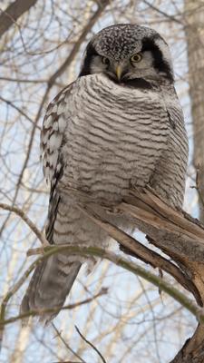 ястребиная сова сова птицы ястребиная