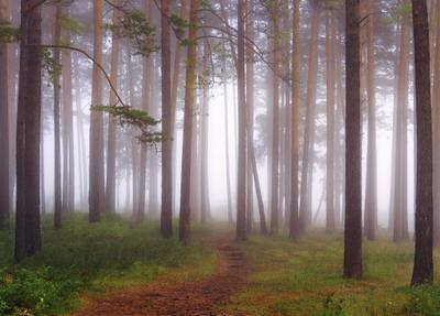 Тропинка в туманы лес туман осень сосны Сибирь
