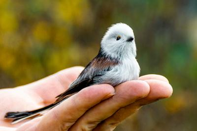 Доверие птица синица ополовник рука самец