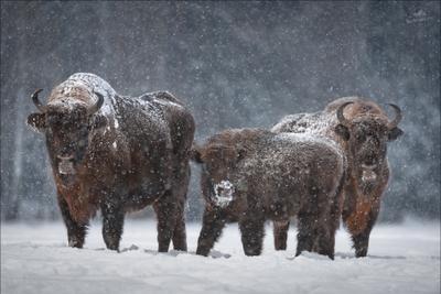 Let It Snow .. зубр Беларусь