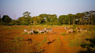 Тыгдымские кони и птичка Кения Тсаво Tsavo