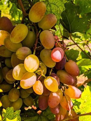 Виноградное золото виноград золото лето