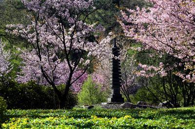 Сакура в Японском саду 7 мая