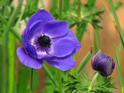 Анемона анемона цветок