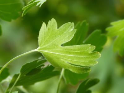 Листики лист зеленый крыжовник зелень