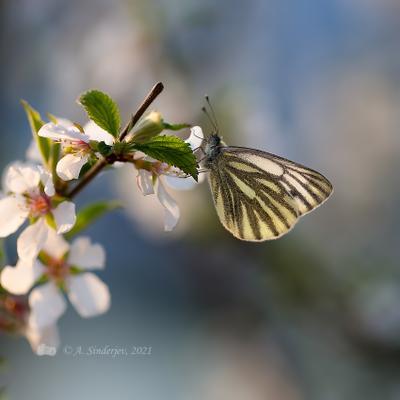 Бабочка брюквенница бабочка насекомое макро белянка