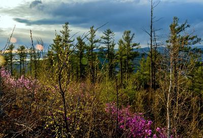 В лучах заката 2 май сопка багульник лес Забайкалье