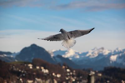 Высокий полёт птица голубь швейцария горы люцерн озеро вода полет крылья