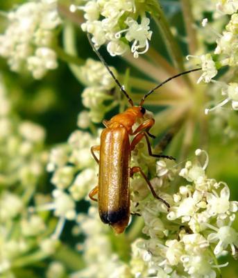 Мягкотелка макро жук мягкотелка