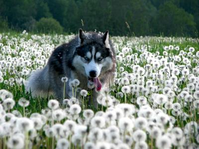 *** собака хаски одуванчики поле прогулка