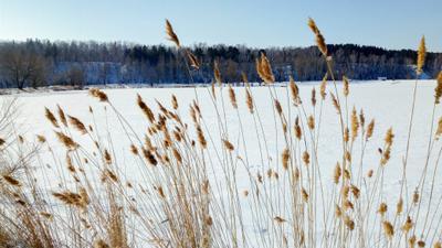 *** зима снег озеро камыш
