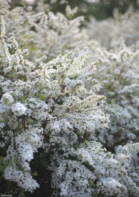 Нежность вечера весна куст цветы красота природа
