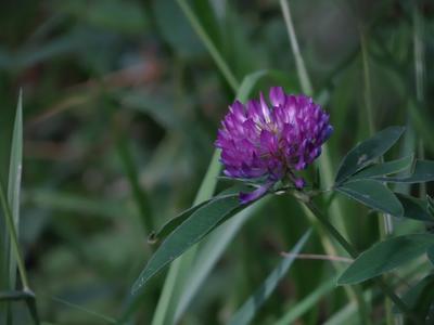 Идут заливные дожди - Пусть будут летние цветы - середина июля*** Клевер луговой very long distance macro trifolium pratense sony dsc-hx200 moscow suburb close-up flowers