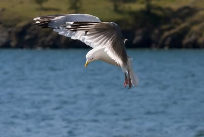 полет чайка