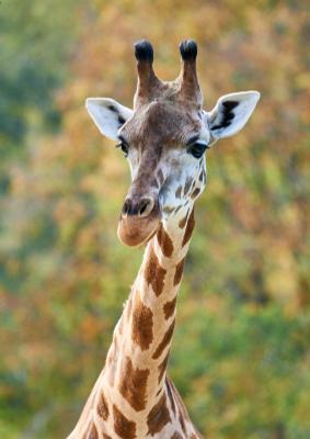 Жираф на пестром фоне жираф
