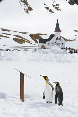 Прихожане Южная Джорджия South Georgia pinguin King