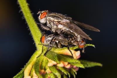 Немного о любви мухи размножение макро