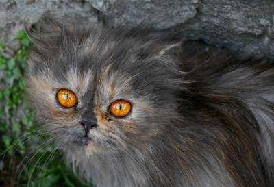 Золотоглазка кошки домашние животные глаза взгляд портрет