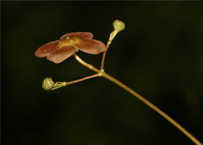 Цветок бересклета Euonymus verrucosus бересклет бородавчатый макро кустарник