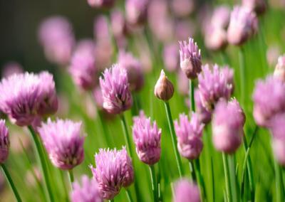 Травка луковая трава лук цветение лето