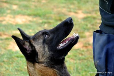 взгляд собаки малиноа животные бельгийская овчарка дрессировка