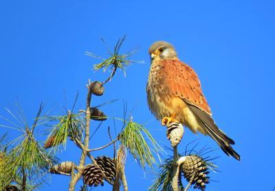 Обыкновенная пустельга пустельга птица