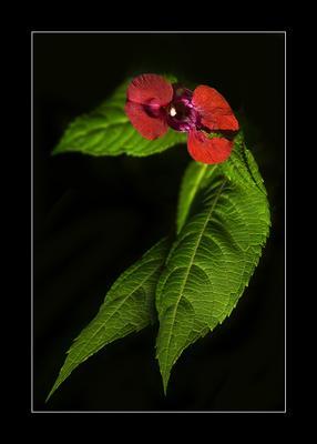 Третий глаз макро,цветок,листья,роса,капля