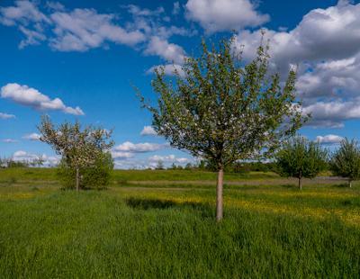 ...как быстро яблони теряют цвет,была весна...