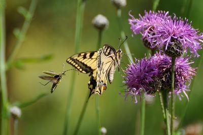 Случайная встреча. Продолжение бабочка махаон лето жук