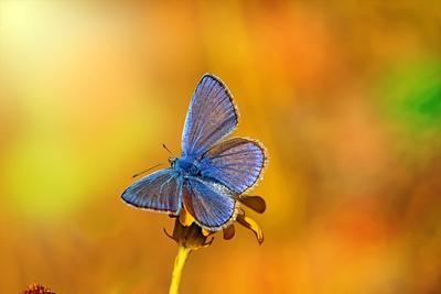 голубянка макро бабочка насекомые голубянка фото макрофото лето солнце